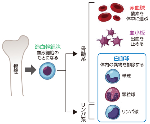 白血病 生存 大人 性 率 急性 リンパ