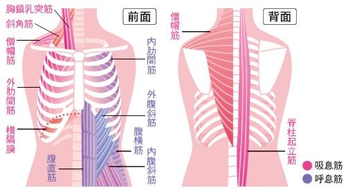 「呼息筋 吸息筋」の画像検索結果