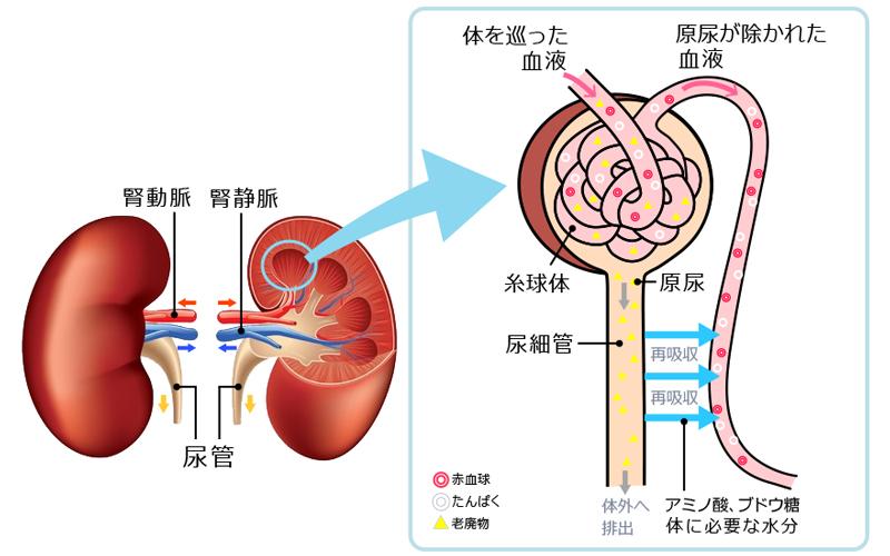 腎機能の低下は生命の危機、症状が出てからでは遅い:腎臓 ...